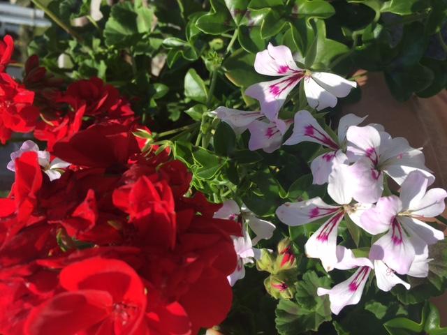 Italienische Nationalfarben als Blumen